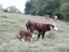 Photo 14 agriculture - Circle s Farm, Hamms Herefords