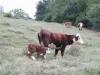Photo 13  in Arkansas - Circle s Farm, Hamms Herefords