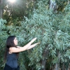 Leslie harvesting eucalyptus to distill!