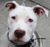 Pit bull training queens ny